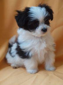 Adorable Litter Of Maltese X Shih Tzu Puppies Wigan Imgurl