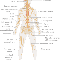 Diagram Of Sciatic Nerve Pathway Opel Astra H Abs Wiring Te Nervous System Wikipedia