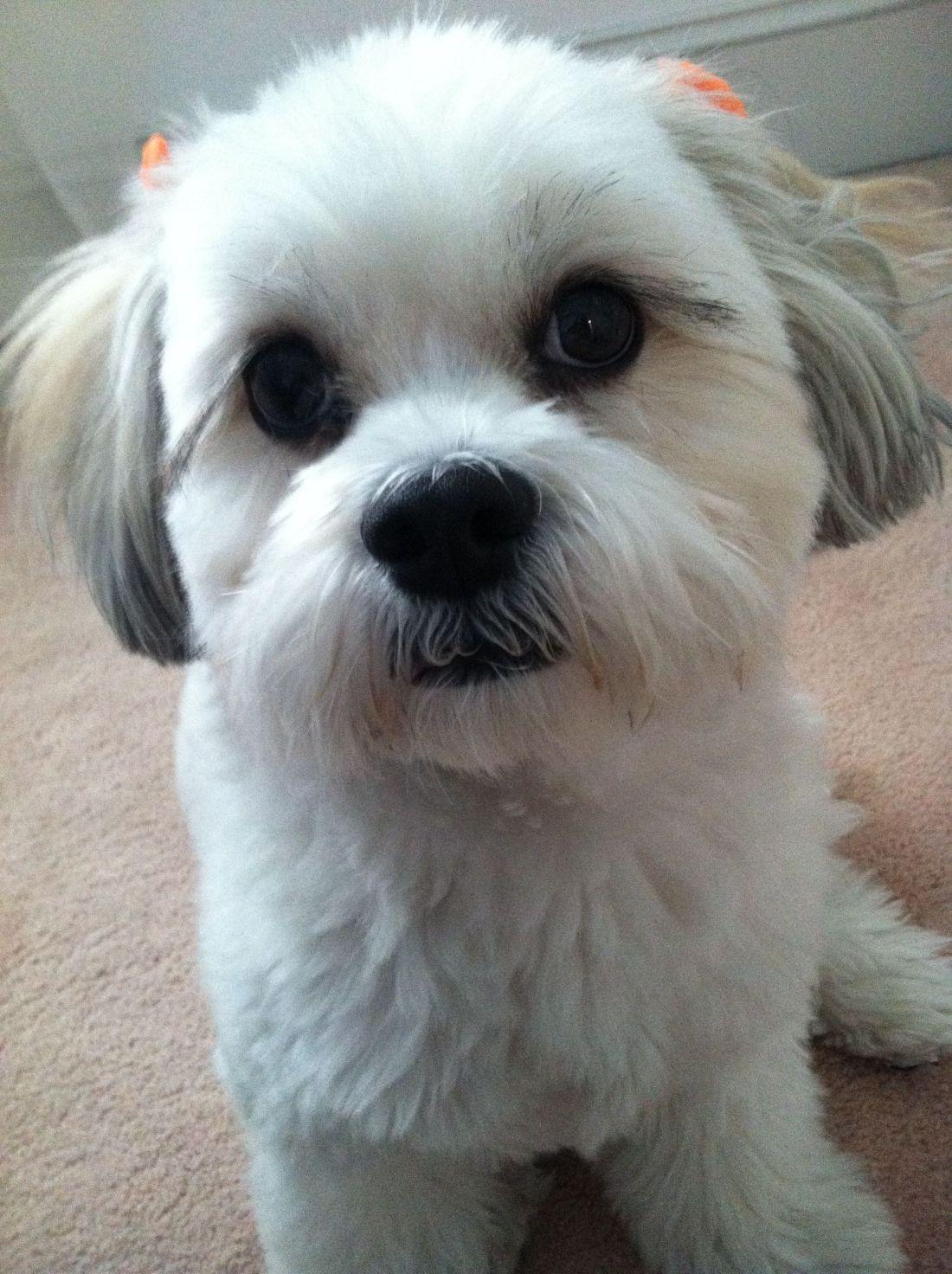 Bichon shih tzu so cute puppies pinterest dog