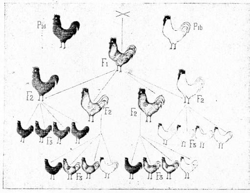 Crossbreed, data from Bateson, 1906, black X white