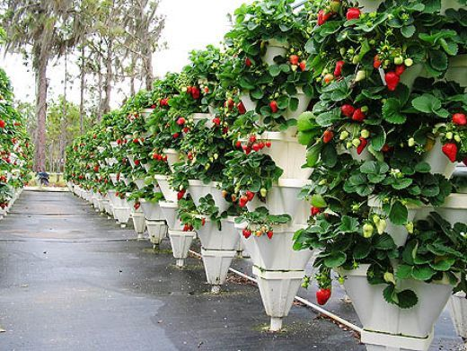 Hydroponic Strawberry Garden That Is Using Vertical Growing
