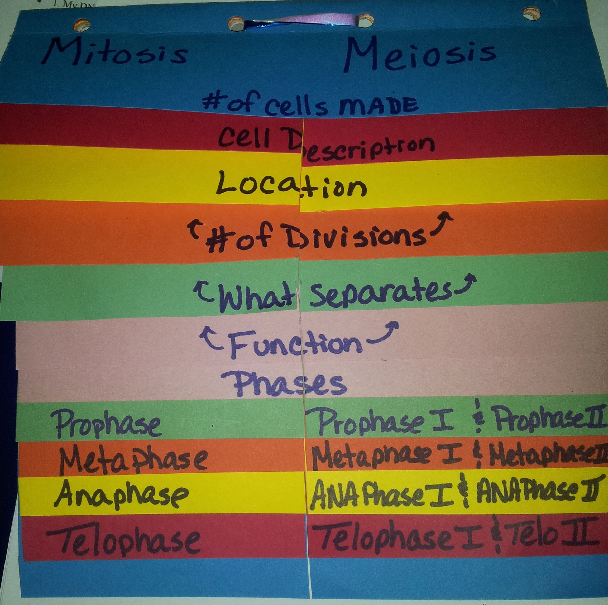 Mitotis And Meiosis Foldable No Description But I Think I