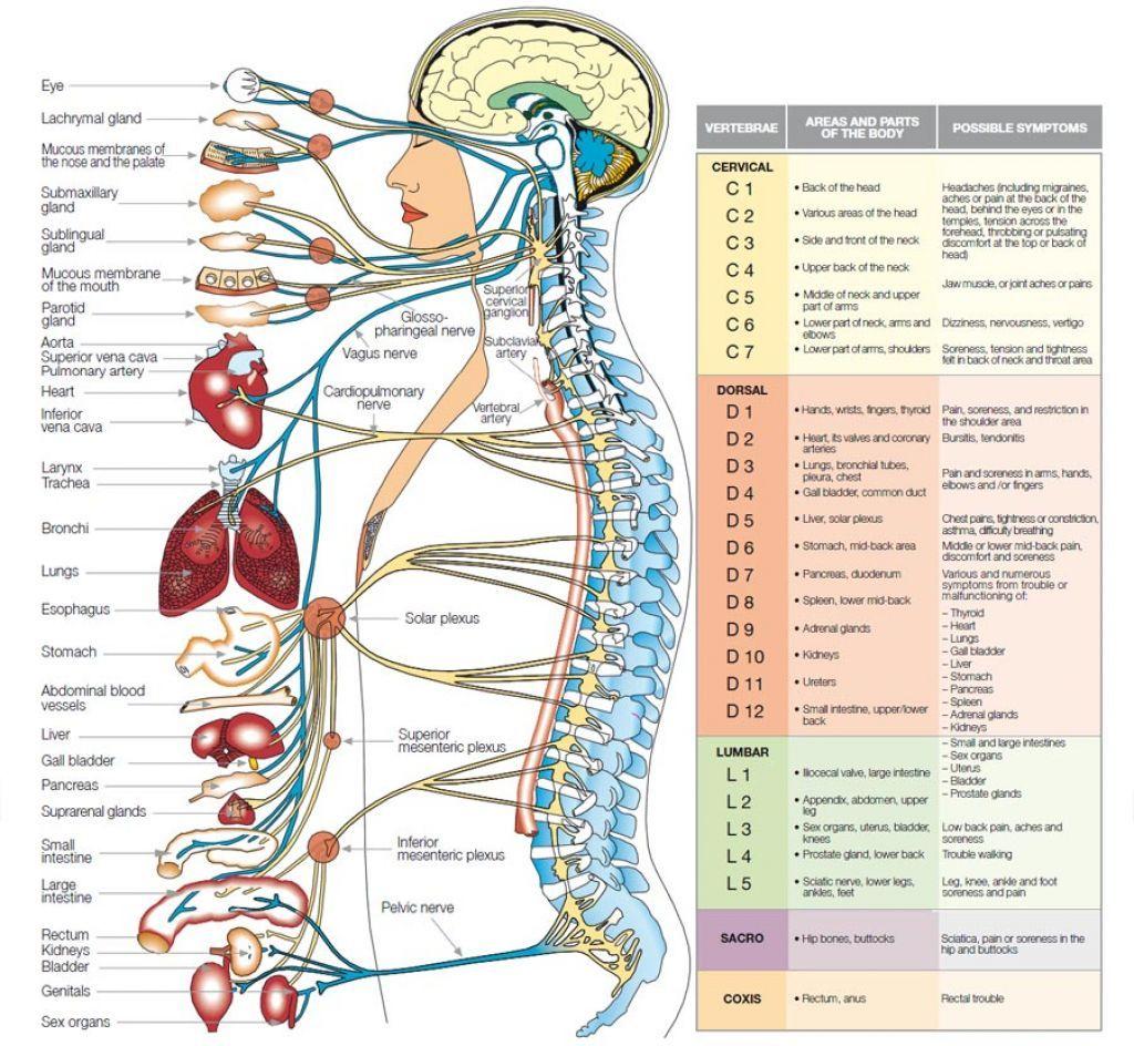 Nervous System Diagram Blank