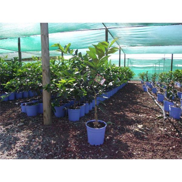 plant-lime 200mm tahitian 3830266