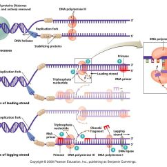 Simple Diagram Of Dna Replication Parts A Shirt Bchm 2024 Concepts Biochemistry