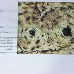 Bone Cell Diagram Labeled Yamaha G14 Wiring Osteon Slide Tissue Histology I 39m A Nurse Pinterest