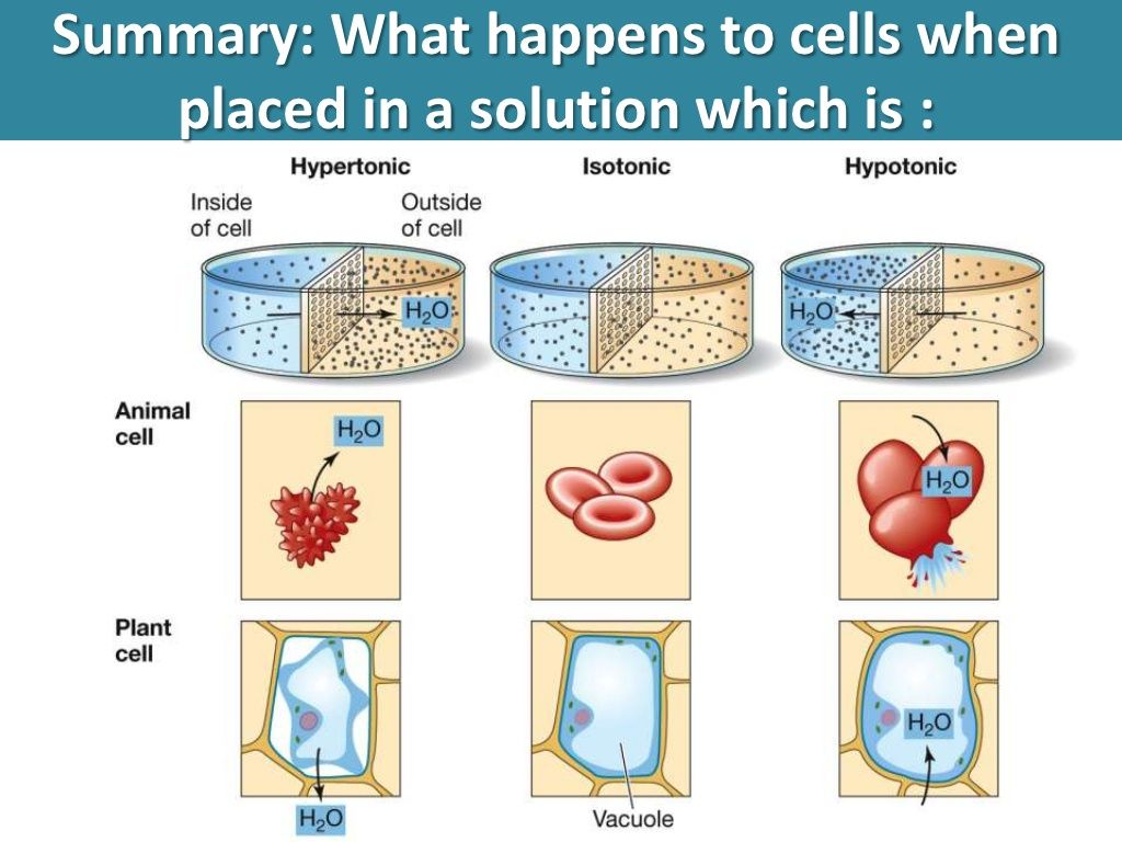 Explain Why Red Blood Cells Burst Indistilled Water But