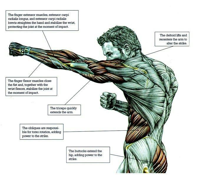 massage technique diagram different diagrams in software engineering martial arts - punch | welche muskeln werden beansprucht? pinterest martial, anatomy and mma