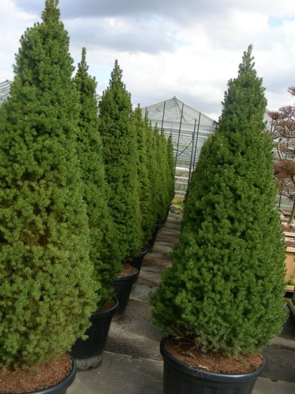 dwarf alberta spruce small container