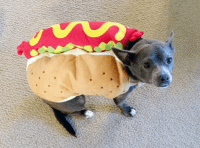 Cute dog costume! Rocky is a hot dog, pun intended ...