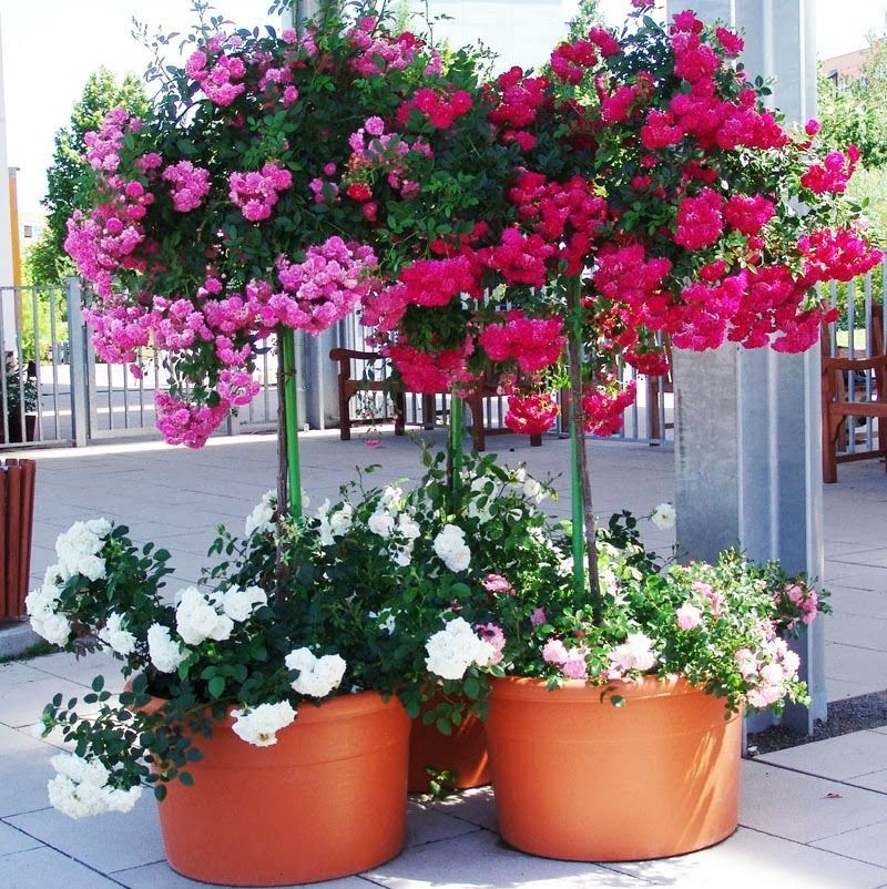 Cultivar Rosales En La Terraza  Guia De Jardin Aprende A