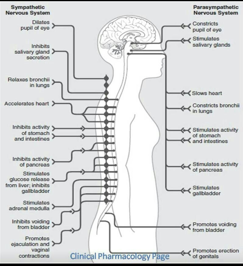 Actions of the sympathetic and parasympathetic nervous