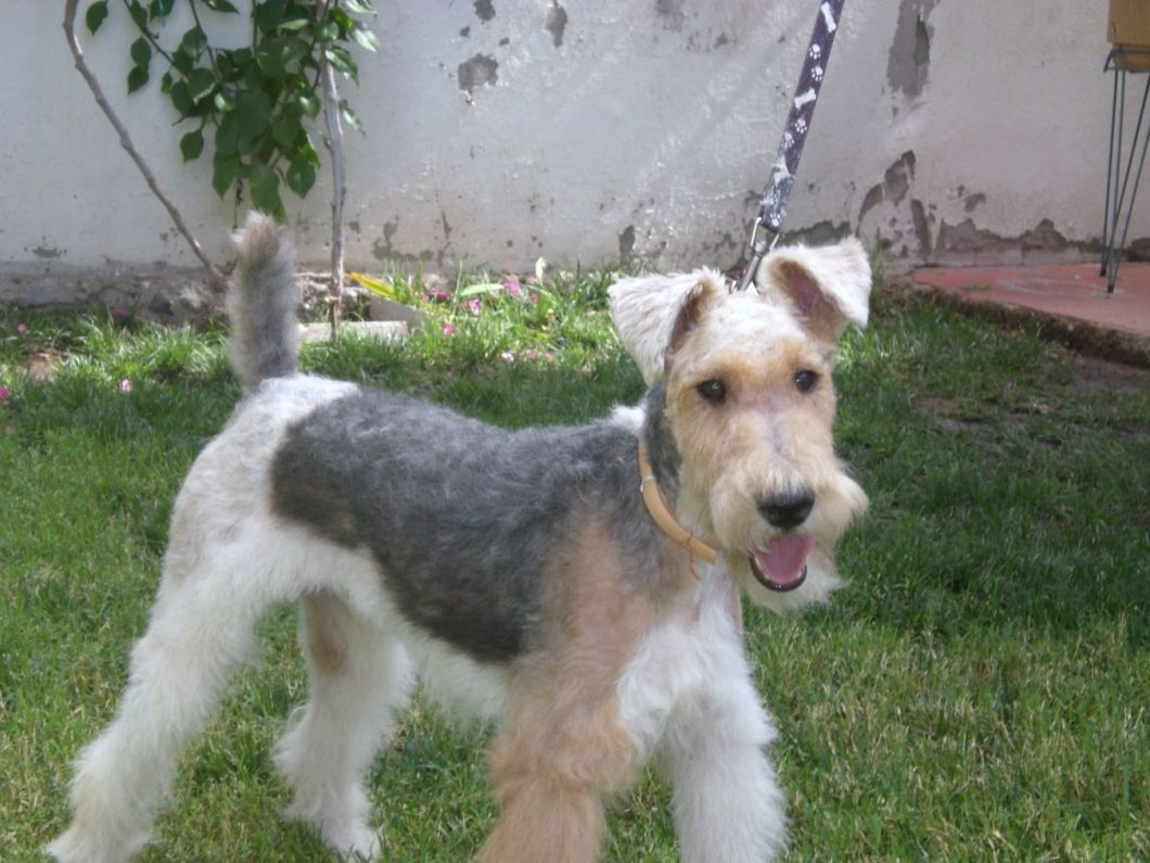 Wire Haired Fox Terrier Breeders California | Hairstly.org