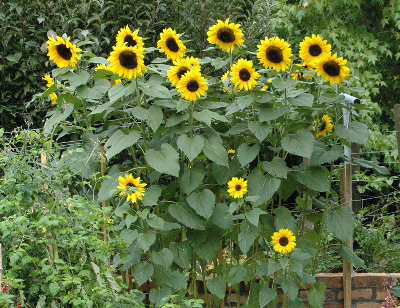 98 Best Images About Sunflowers On Pinterest Fields Sunflower