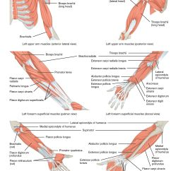 Muscles In Your Arm Diagram Bull Origami Female Muscle Google Search 30 Day