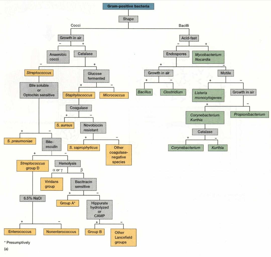 Identification Of Gram Positive Bacteria