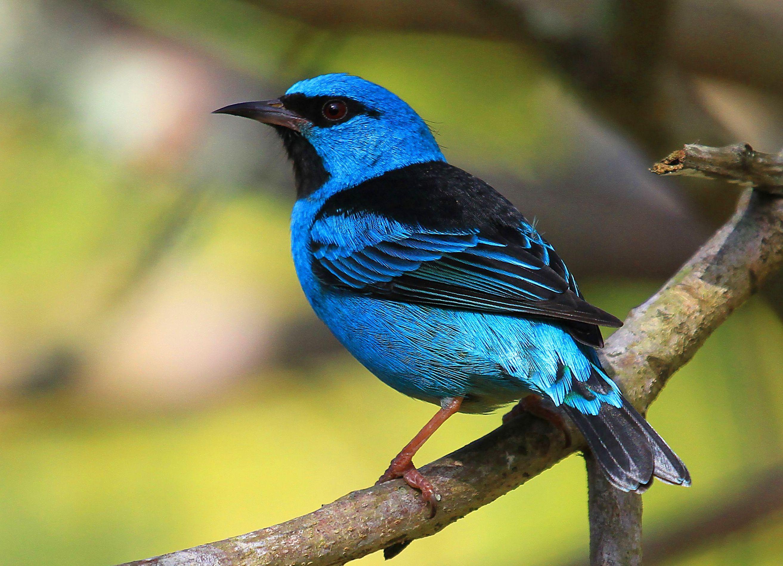El Dacnis azul o mielero turquesa Dacnis cayana es una