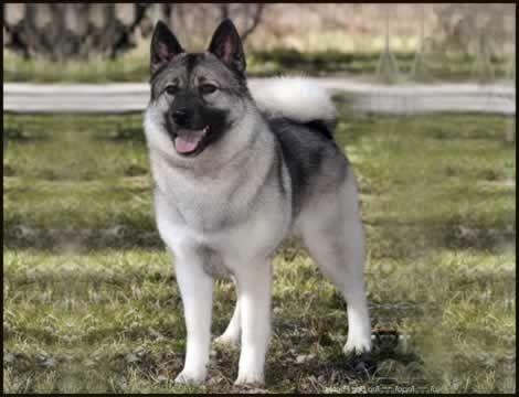 Norwegian Elkhound Great Dogs Images Pinterest