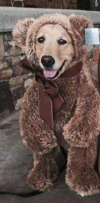Golden retriever Halloween costume | Dogs: A Girl's Best ...