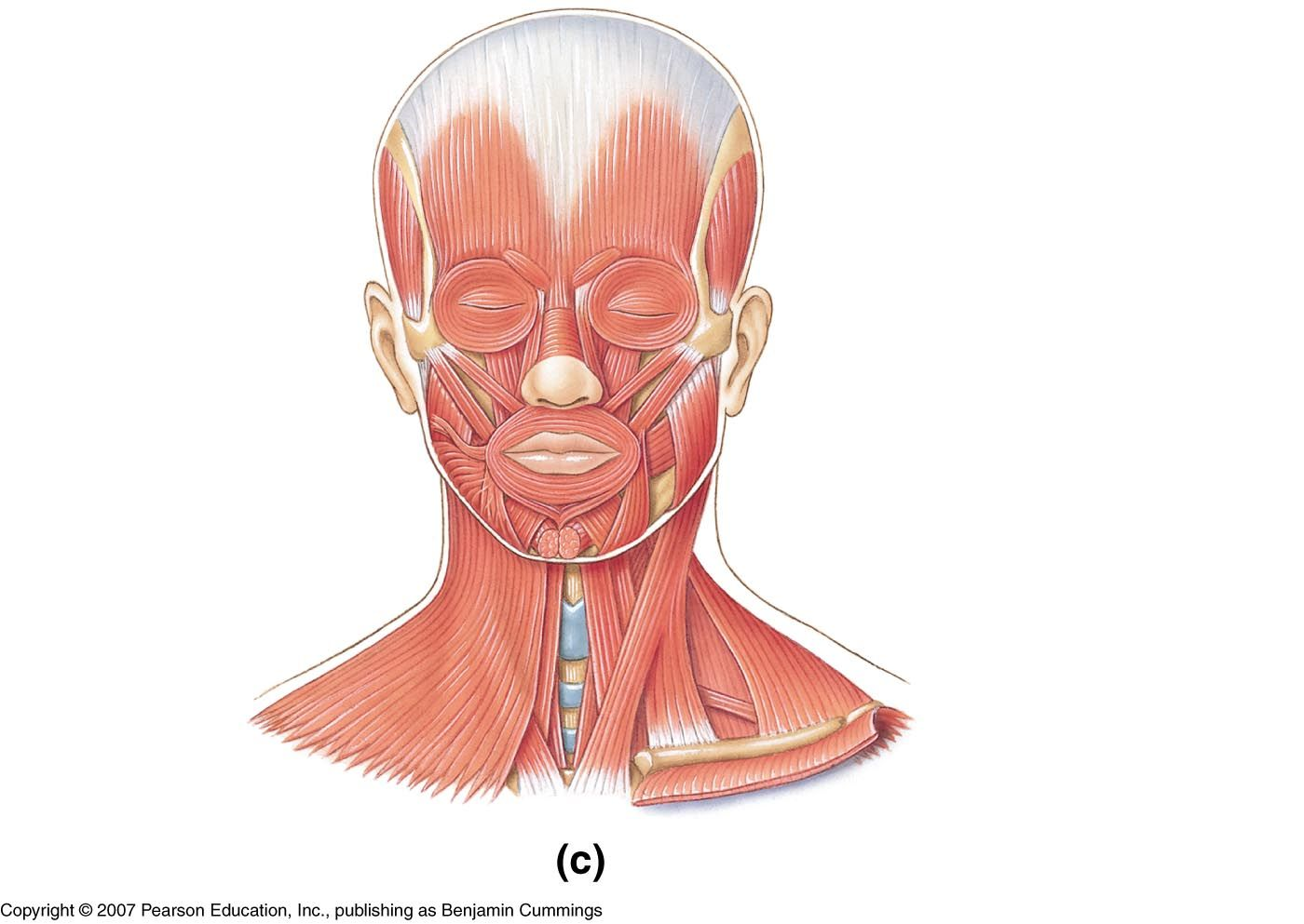 Muscles Of The Face Amp Neck Unlabeled