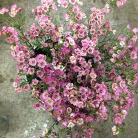 Dark pink wax flower called 'Adi' Sold in bunches of 10 ...