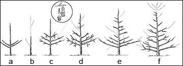 Pruning fruit trees—choose training system shapes for