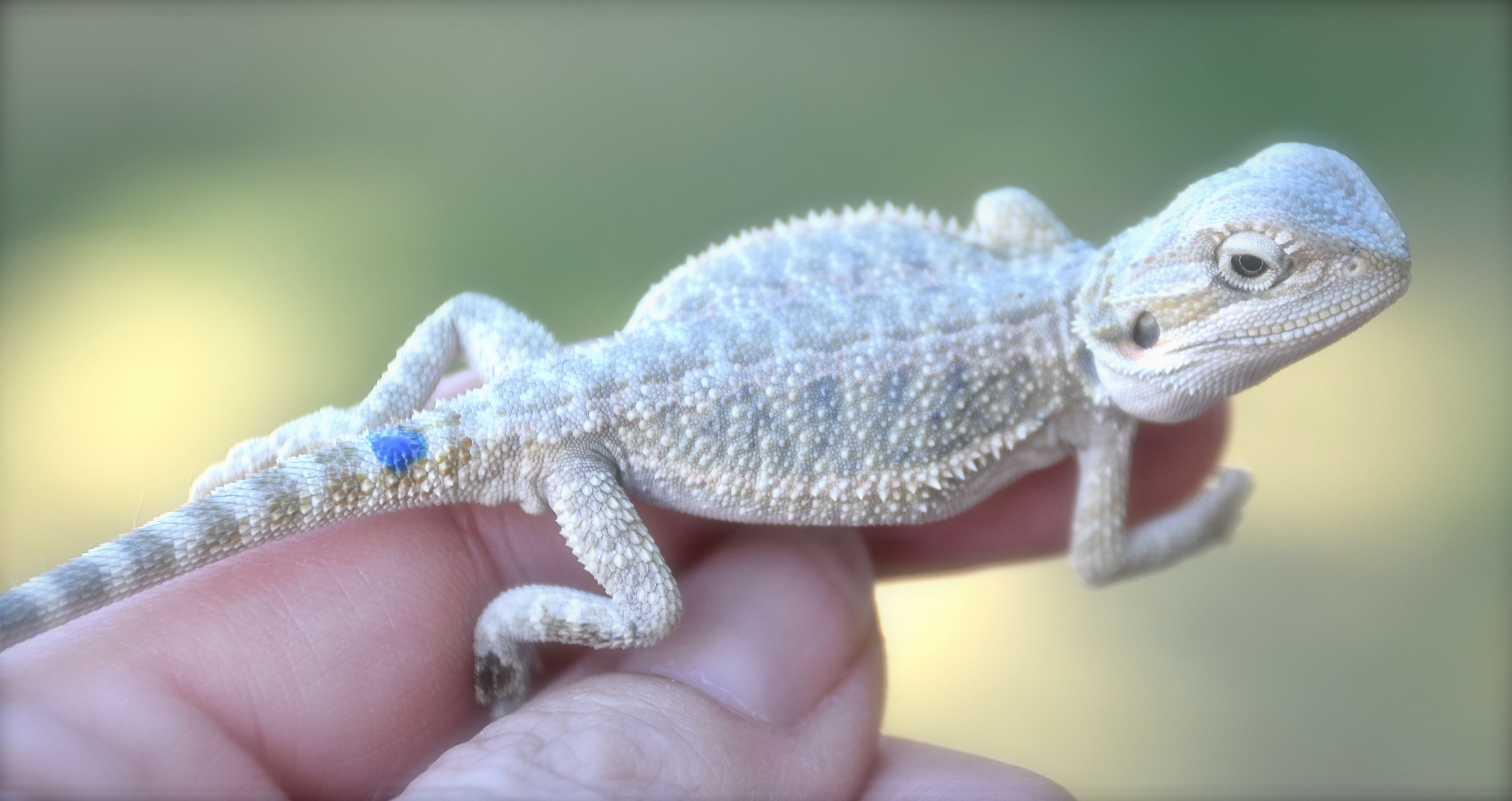 Cheap Pointed Toe High Heels: Baby Bearded Dragon For Sale ...