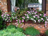 coleus plus pink impatiens for shade...