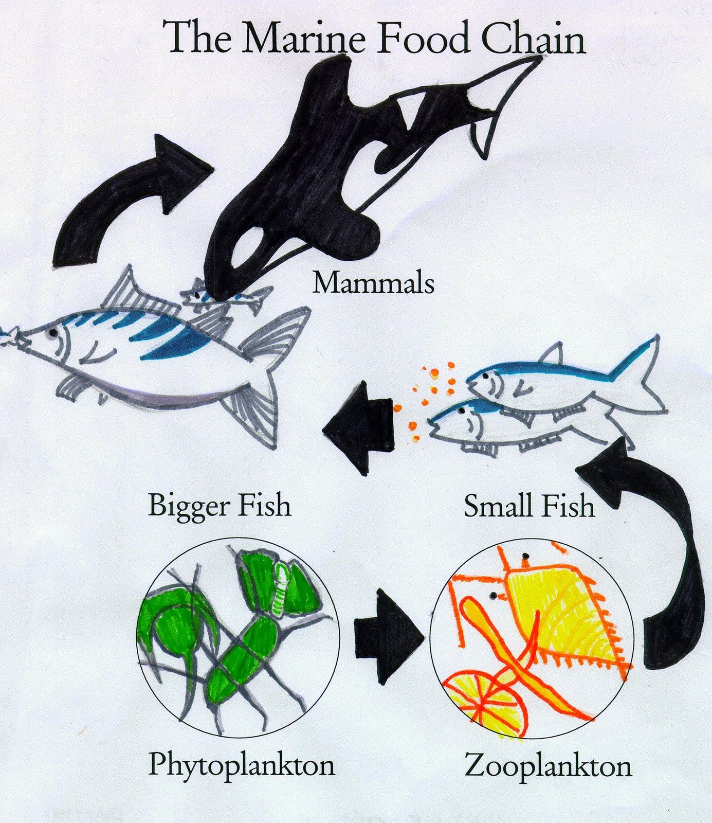 Simplified Ocean Food Chain Can You Create Your Own