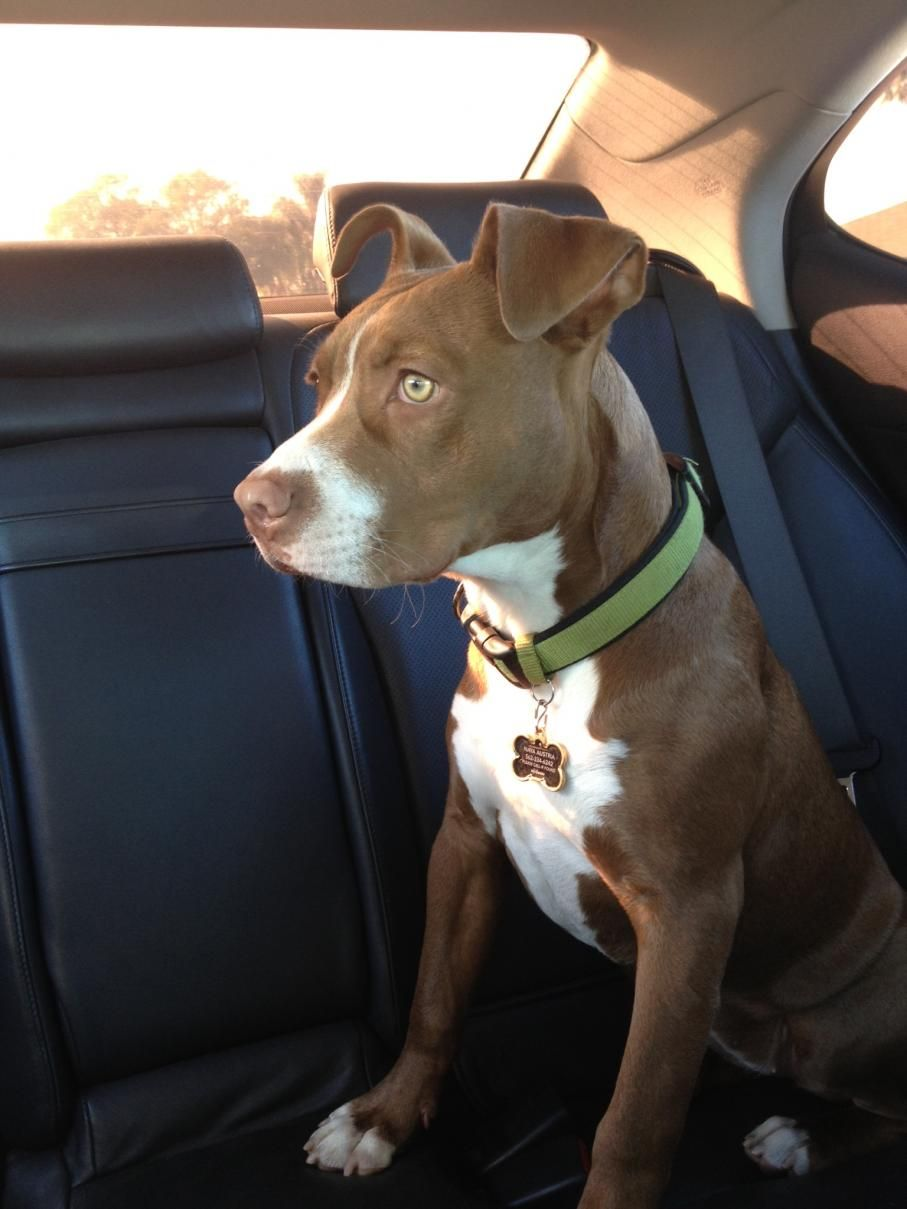 Pit Bull Nose And Lab Mix Red