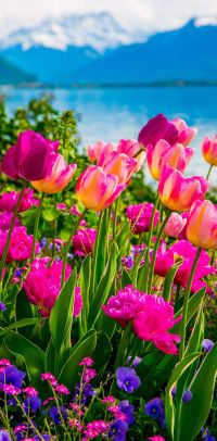 Pink and purple tulips, Flowers on Lake Geneva, with Swiss ...