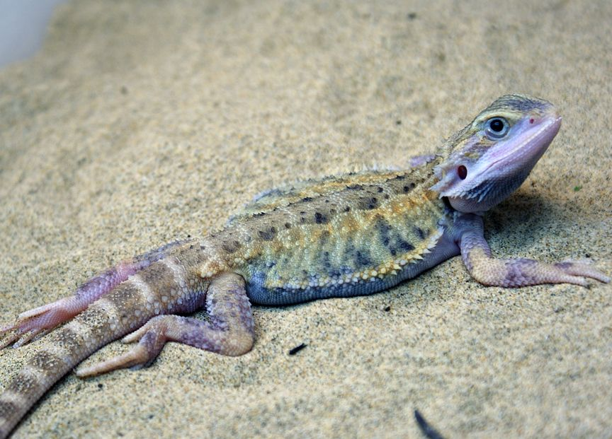 Purple Bearded Dragon For Sale