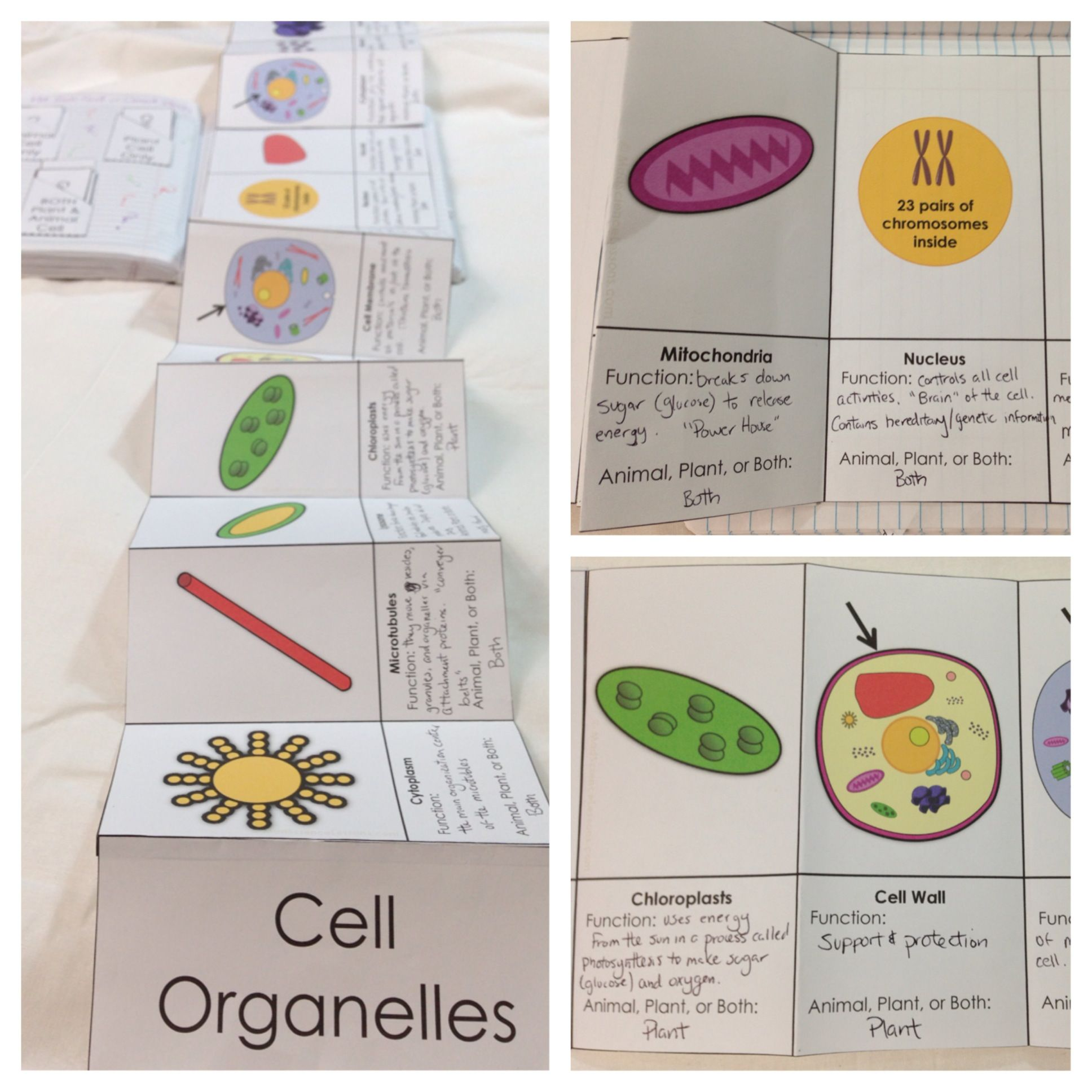 Plant And Animal Cell Organelle Fold Out For Science