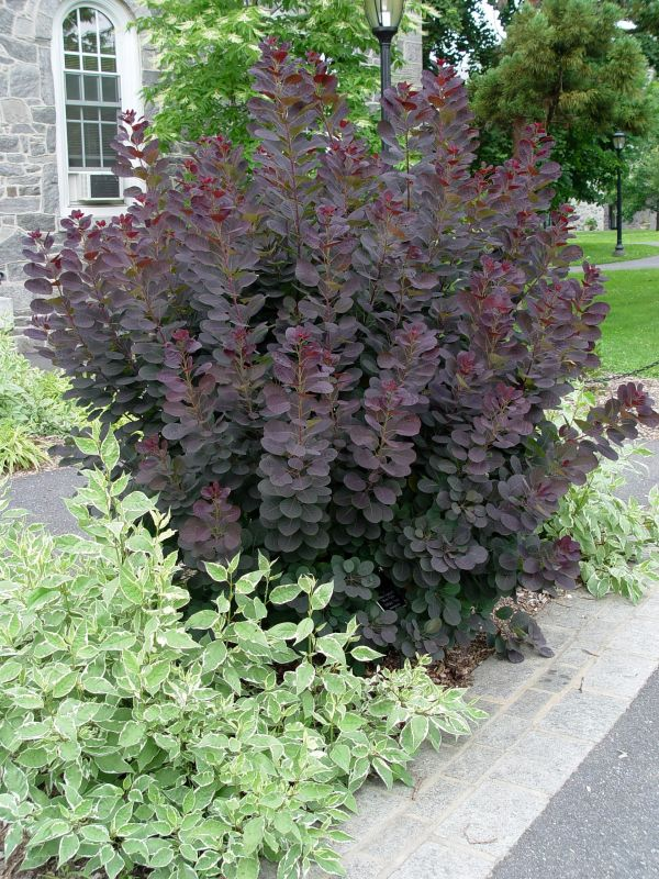 cottinus coggygria royal purple