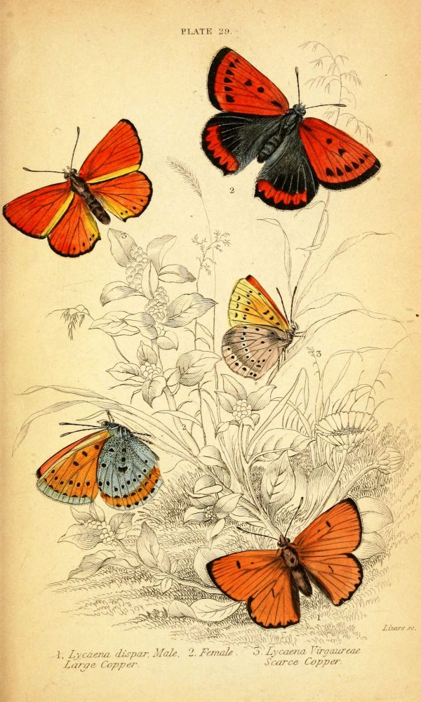 Free Vintage Graphics Print Butterfly Prints. Natural History Of British