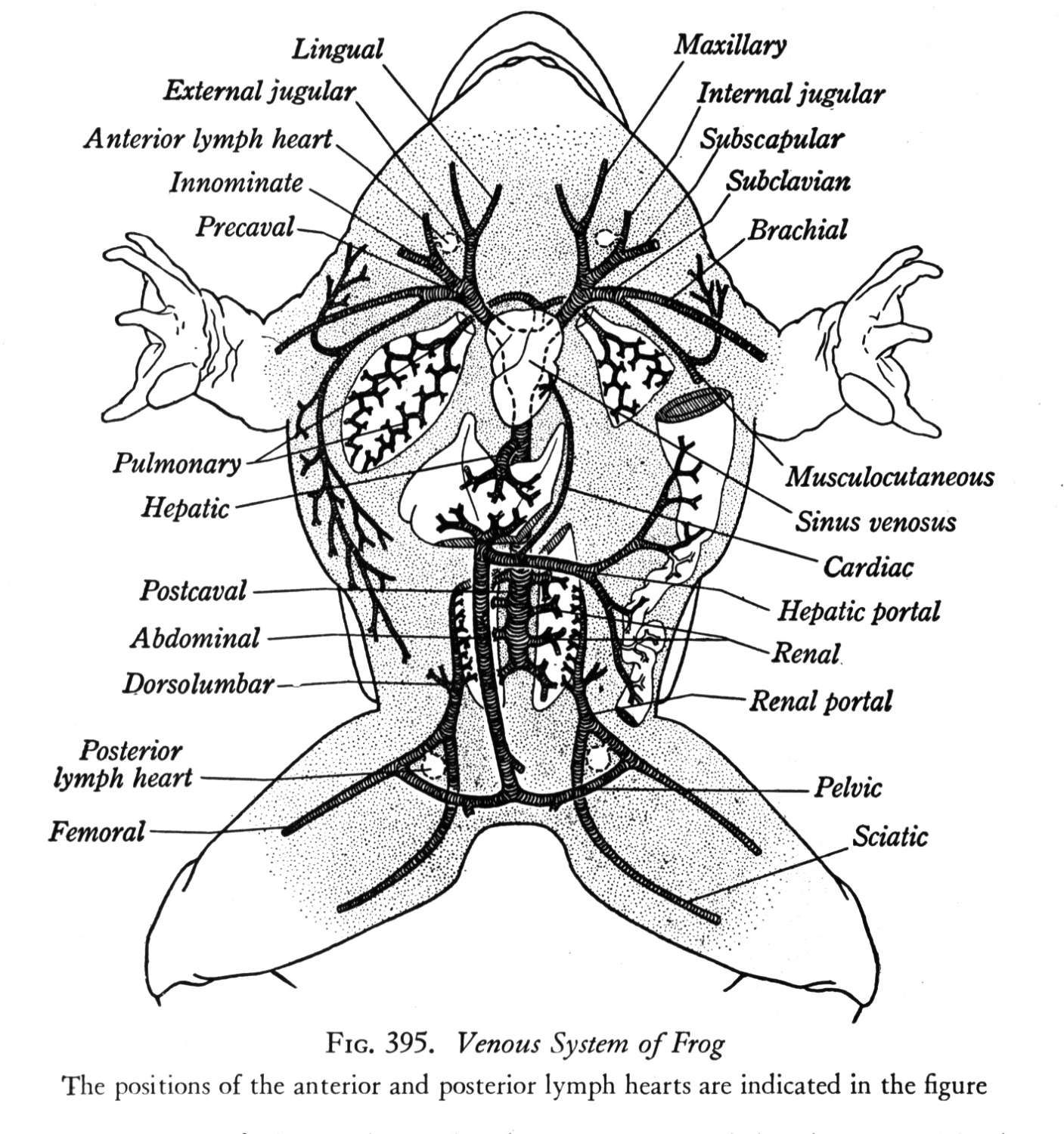 Frog Diagram Labeled