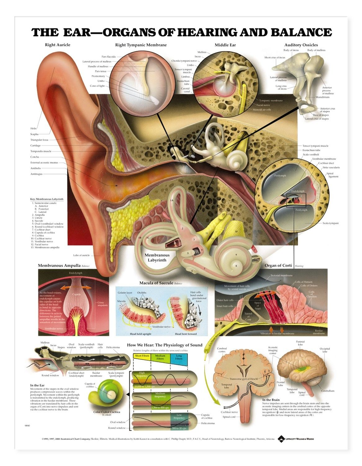 human ear diagram labeled wiring for 2 way switch anatomy on pinterest