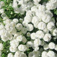 white flowers | WHITE IS WHITE | Pinterest | White flowers ...