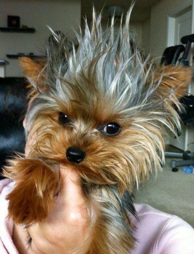Yorkie Mohawk Terrier
