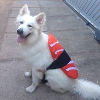 DIY Nigiri Sushi Halloween Dog Costume Idea | DIY ...