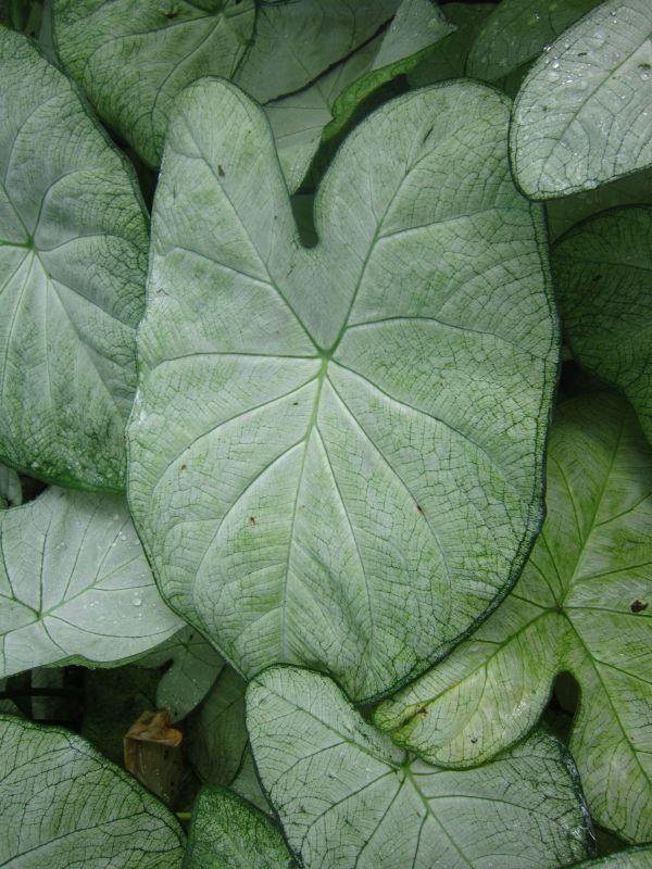 caladium 'garden white' fancy
