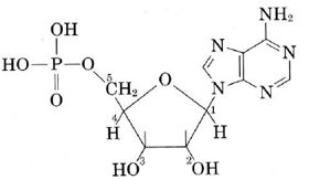 This structure of a nucleotide shows the 5-carbon sugar