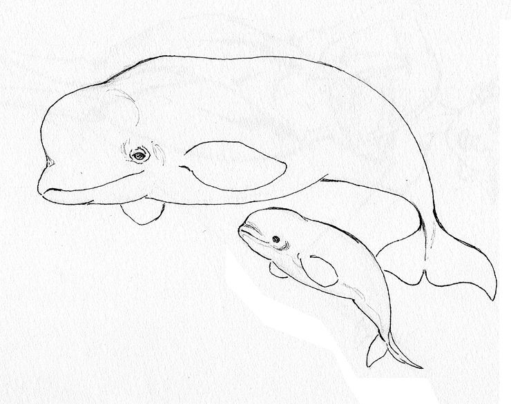 Animal Coloring Pages Beluga Whale Endangered Page