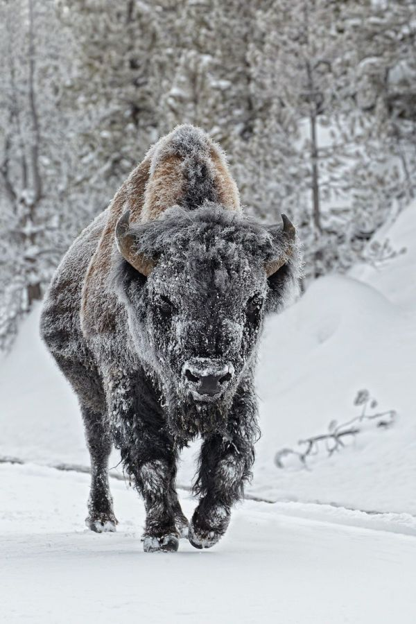 Ignacio Yúfera photography American Bison True