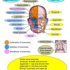 Trigeminal Nerve Diagram Leg Muscles And Ligaments Motor Supply Of Face Impremedia