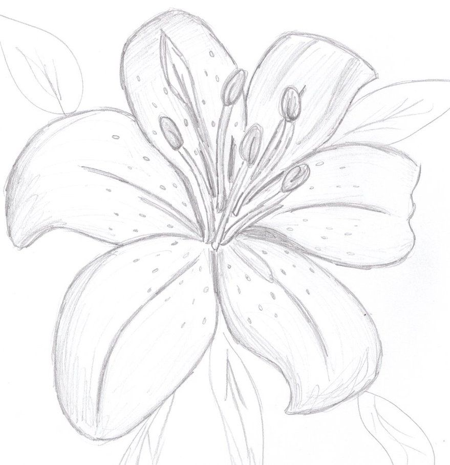 Easy To Draw Tiger Lily Flowers