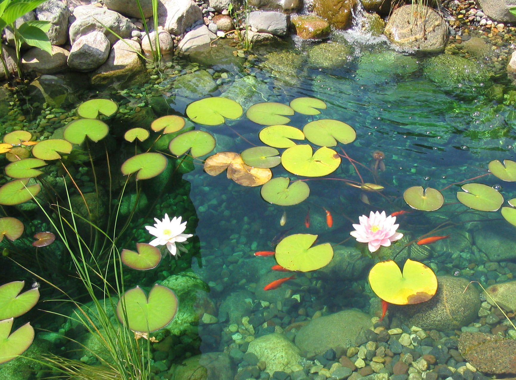 Where Buy Lily Pads Pond