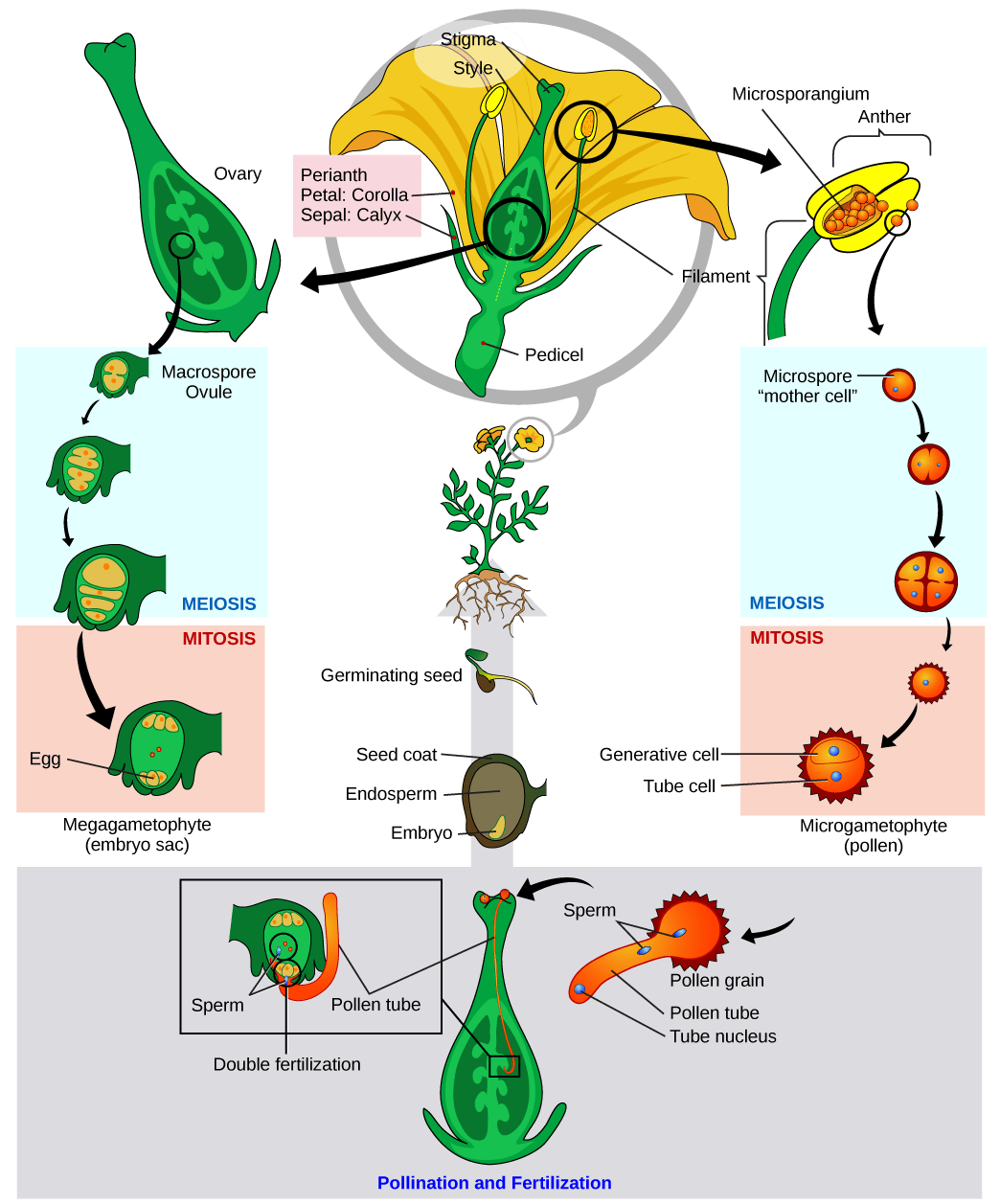 This Diagram Shows The Lifecycle Of An Angiosperm Anthers