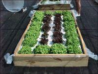 Building a Floating Hydroponic Garden -- Figure 1. Lettuce ...