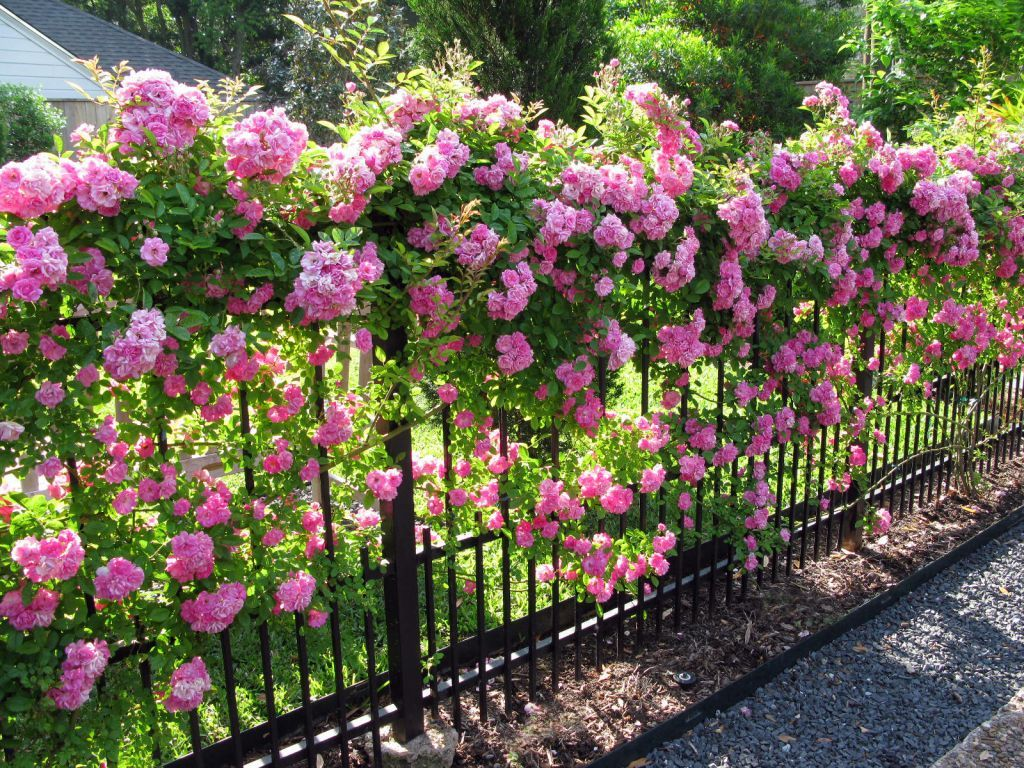 25 Best Ideas About Roses Garden On Pinterest Growing Roses